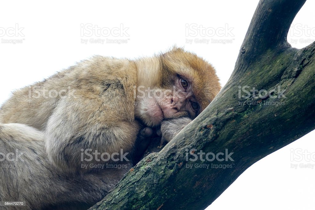 Barbary Macaque monkey resting in a tree stock photo