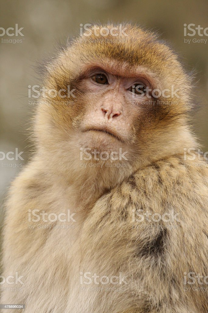 Barbary Macaque. stock photo