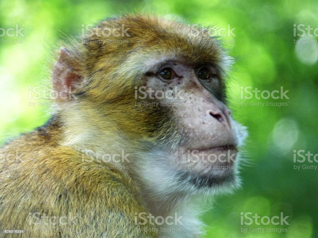 Barbary Macaque stock photo