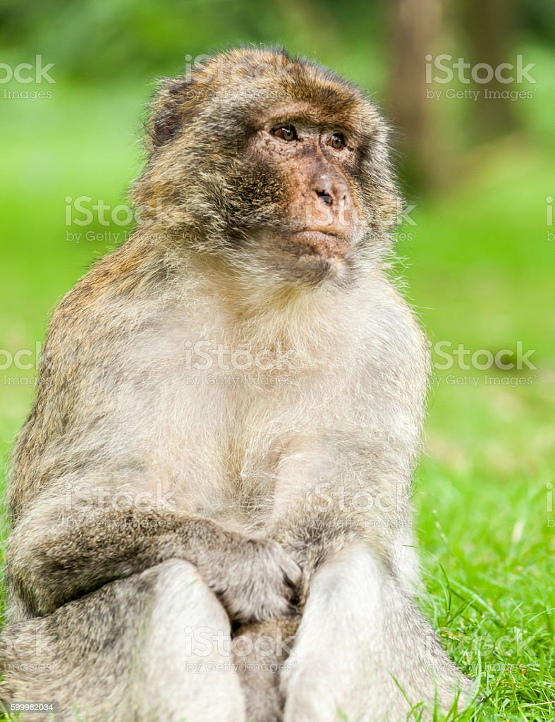 Barbary Macaque  (Macaca sylvanus) sitting looking off into the distance. stock photo