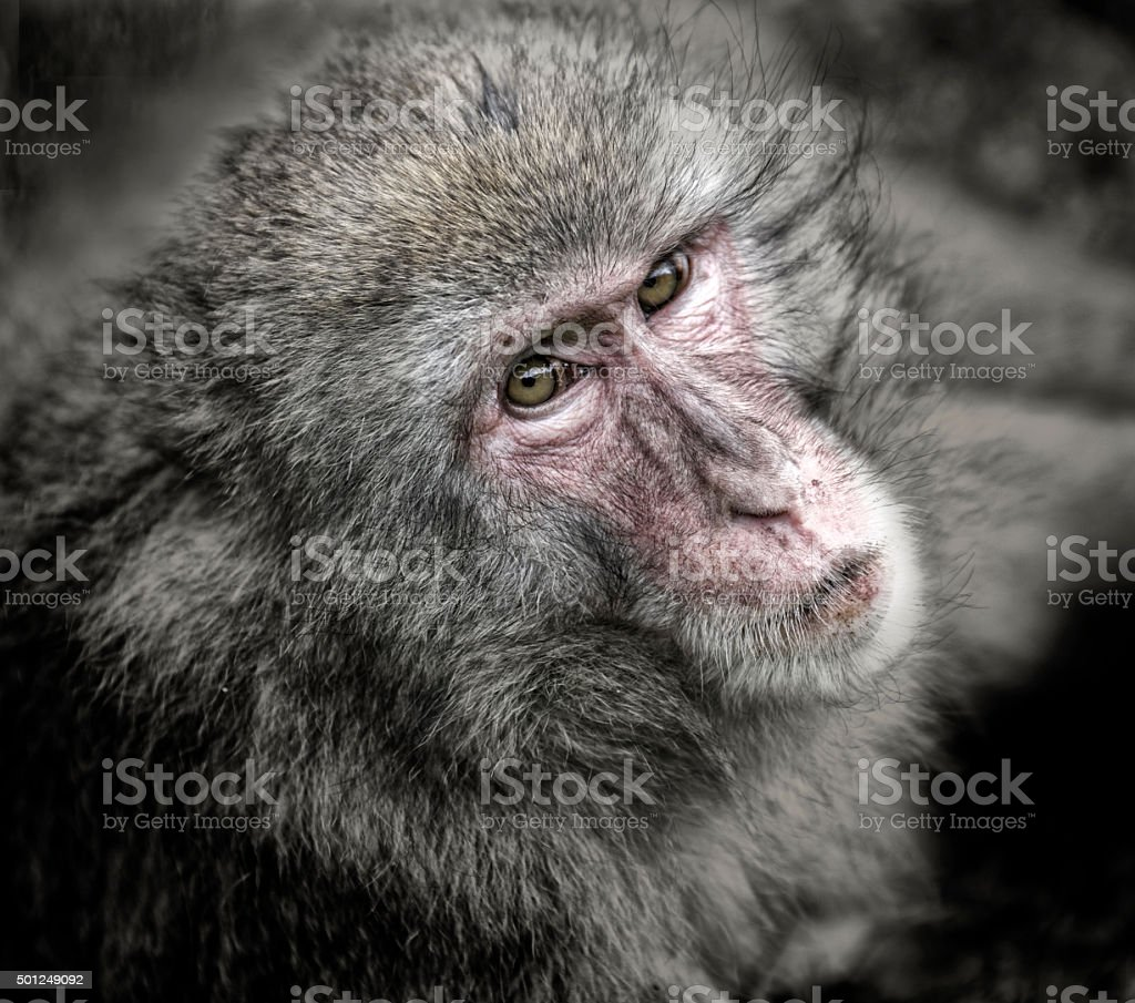 Barbary Macaque sitting on floor in zoo stock photo