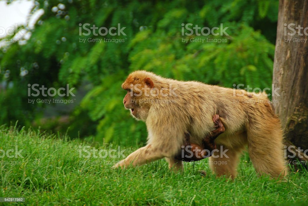 Barbary macaque walking with it`s young through the Plain stock photo