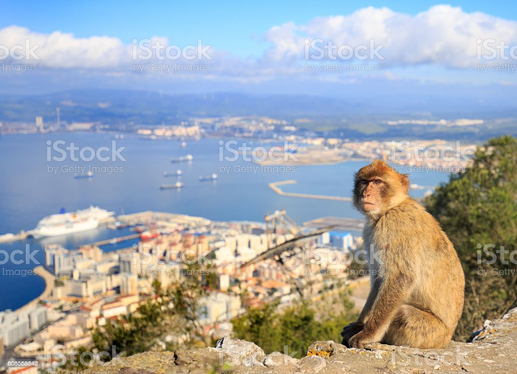 Barbary Macaque with harbour seascape in background stock photo