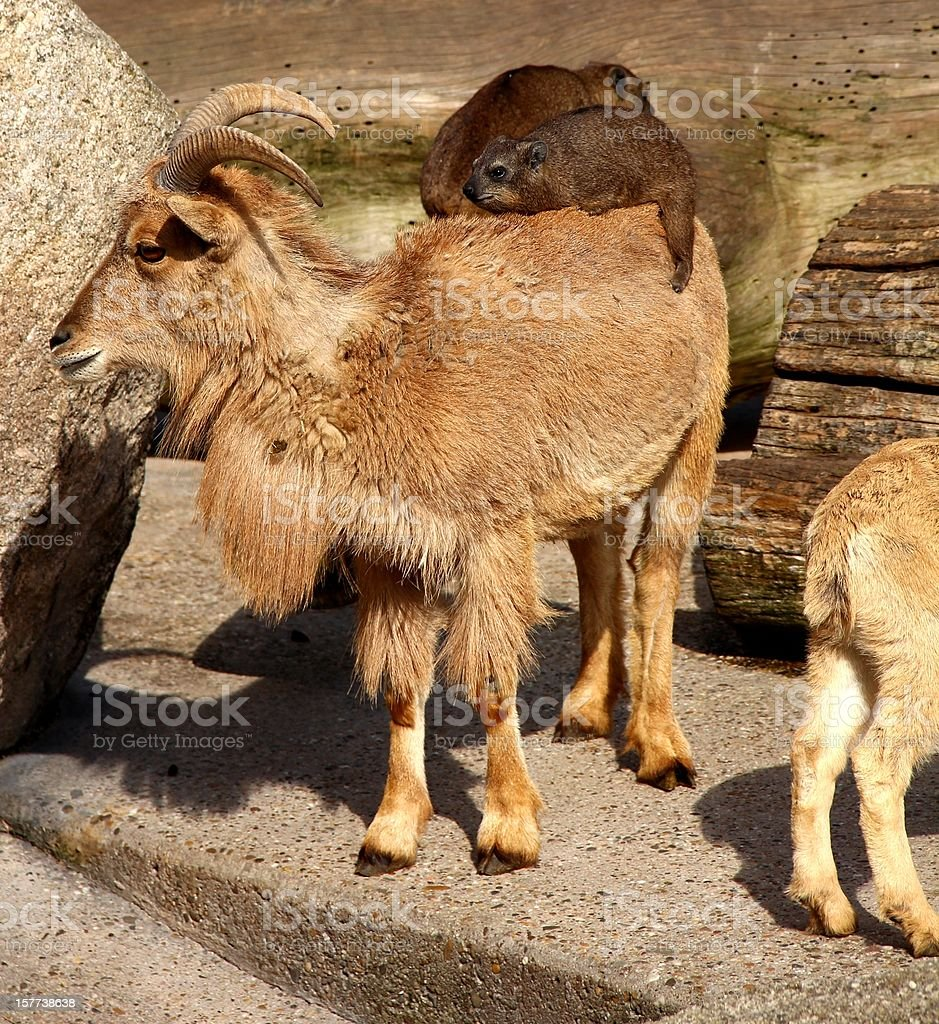 Barbary sheep and Rock Dassie stock photo