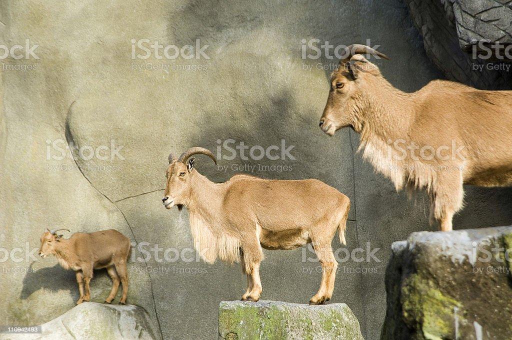 Barbary Sheep in zoo royalty-free stock photo
