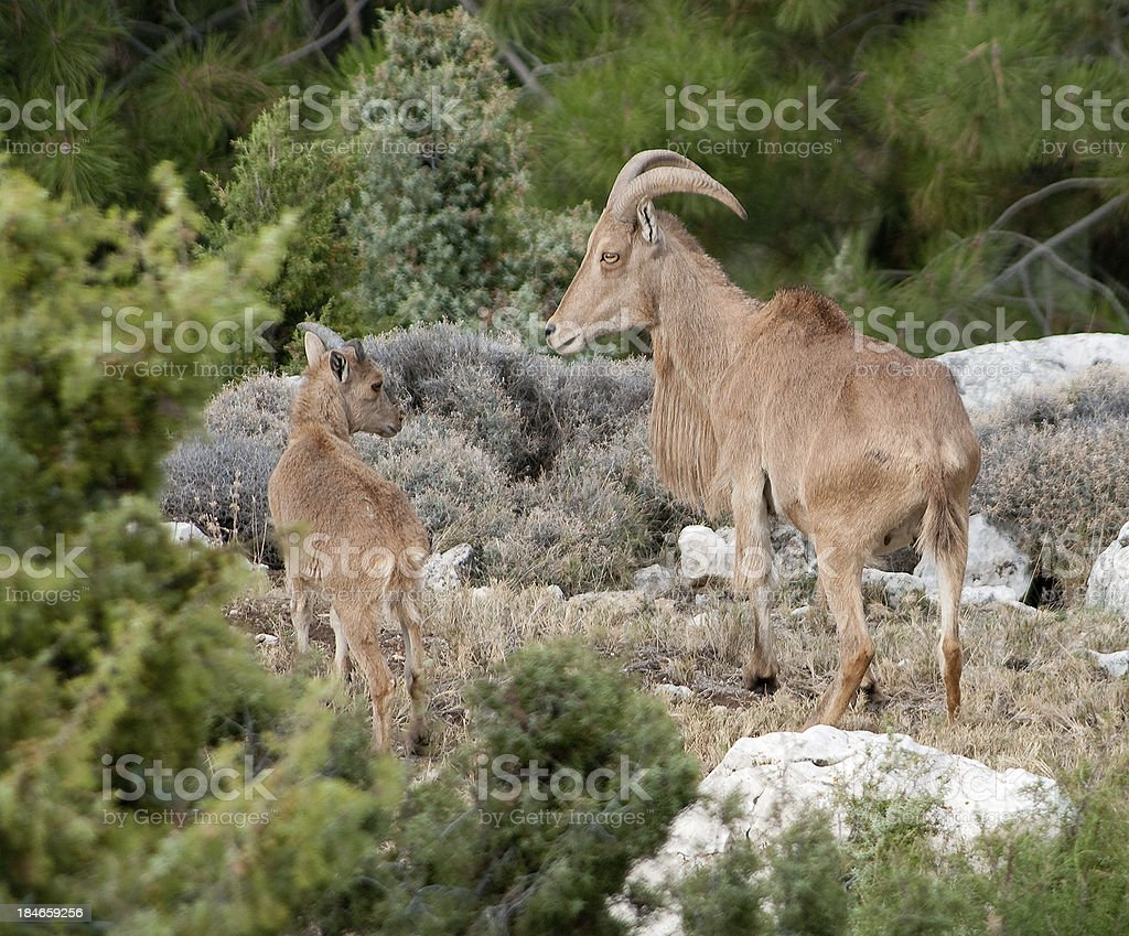 Barbary Sheep mother and lamb in Spain royalty-free stock photo