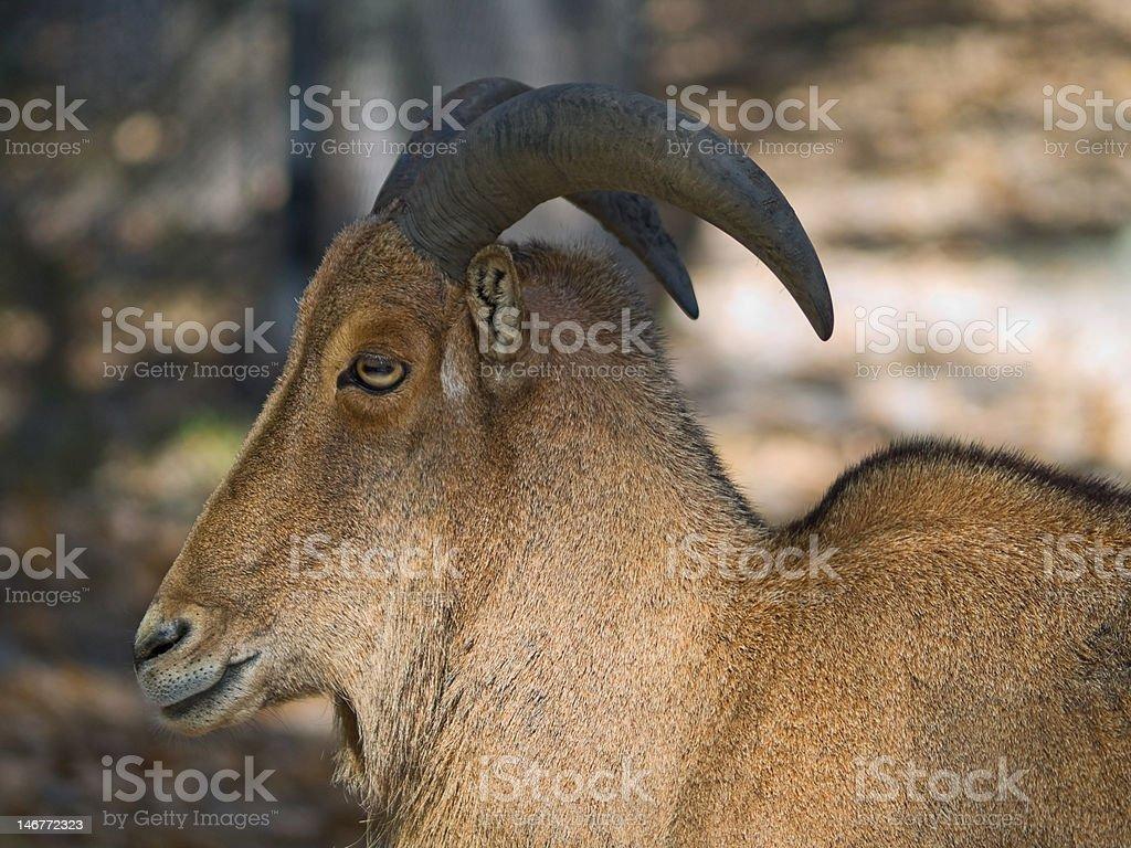 Barbary Sheep royalty-free stock photo