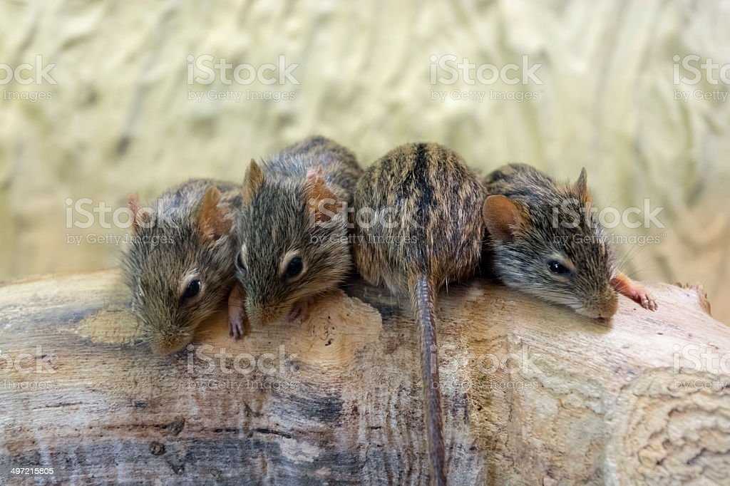 Barbary striped grass mouse (Lemniscomys barbarus) stock photo