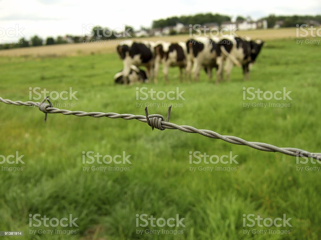 barbed wire cows royalty-free stock photo