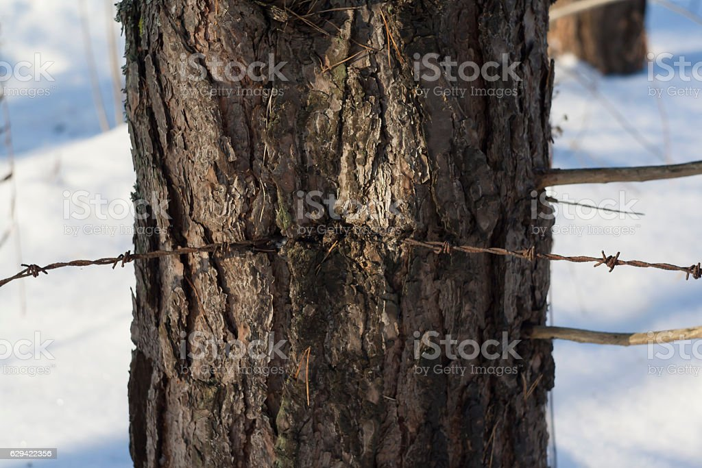 barbed wire in tree stock photo
