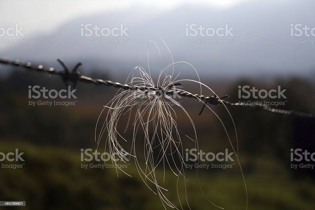barbed wire with hairs stock photo