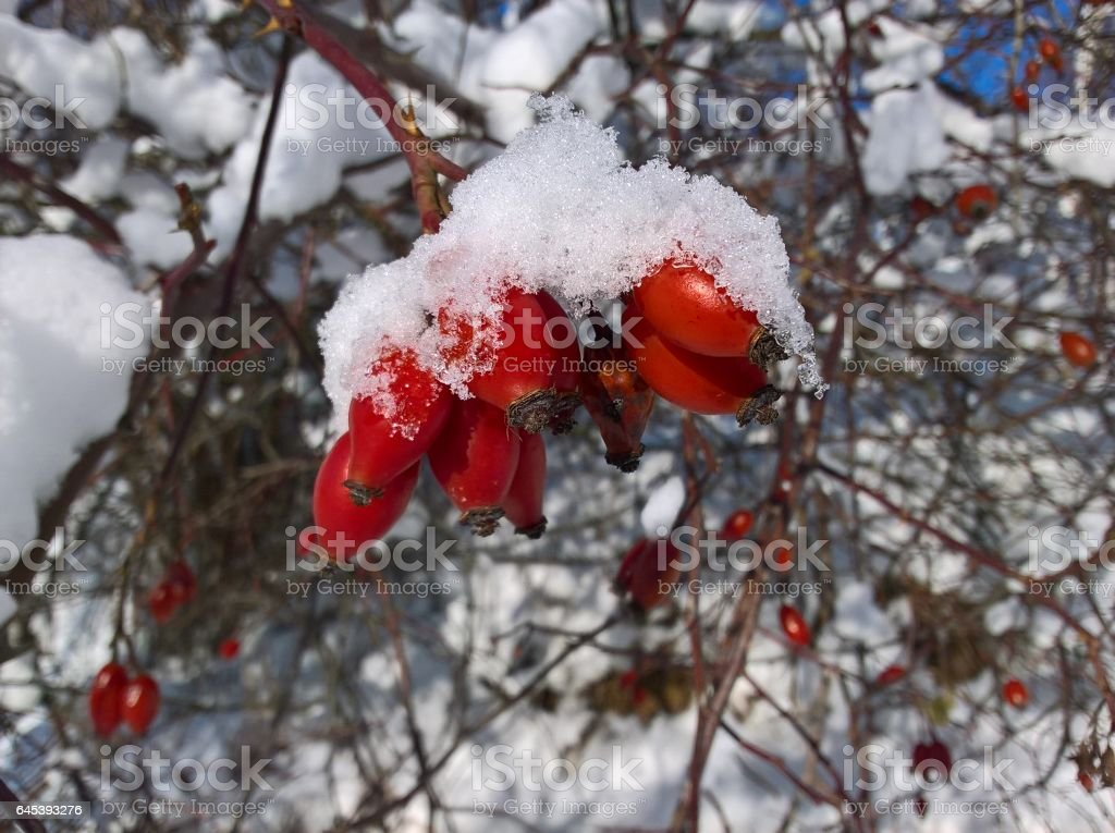 Barberry Red Fruits Snow Covered stock photo