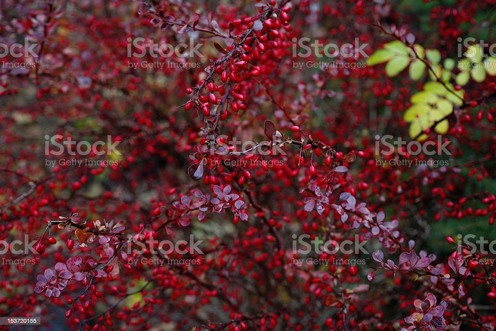 barberry with red berries royalty-free stock photo