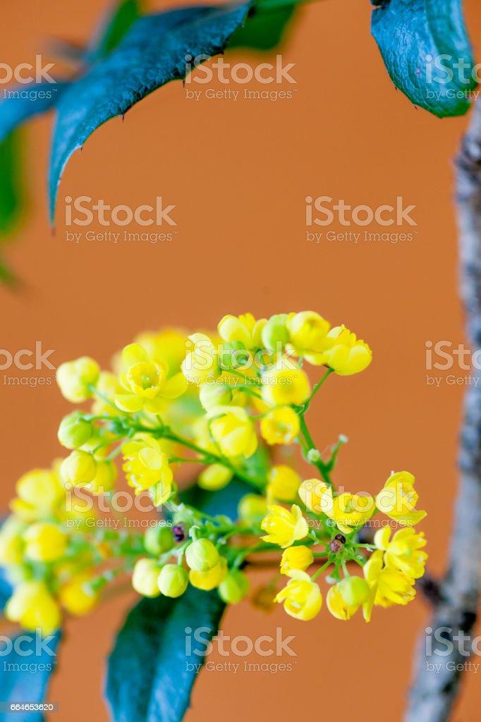 Barberry Yellow Flower On Orange  Background - Close Up stock photo