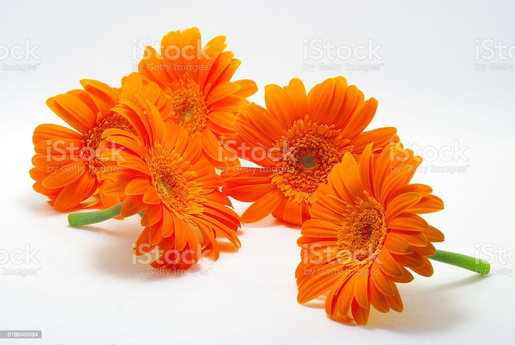 Barberton daisy of the orange stock photo