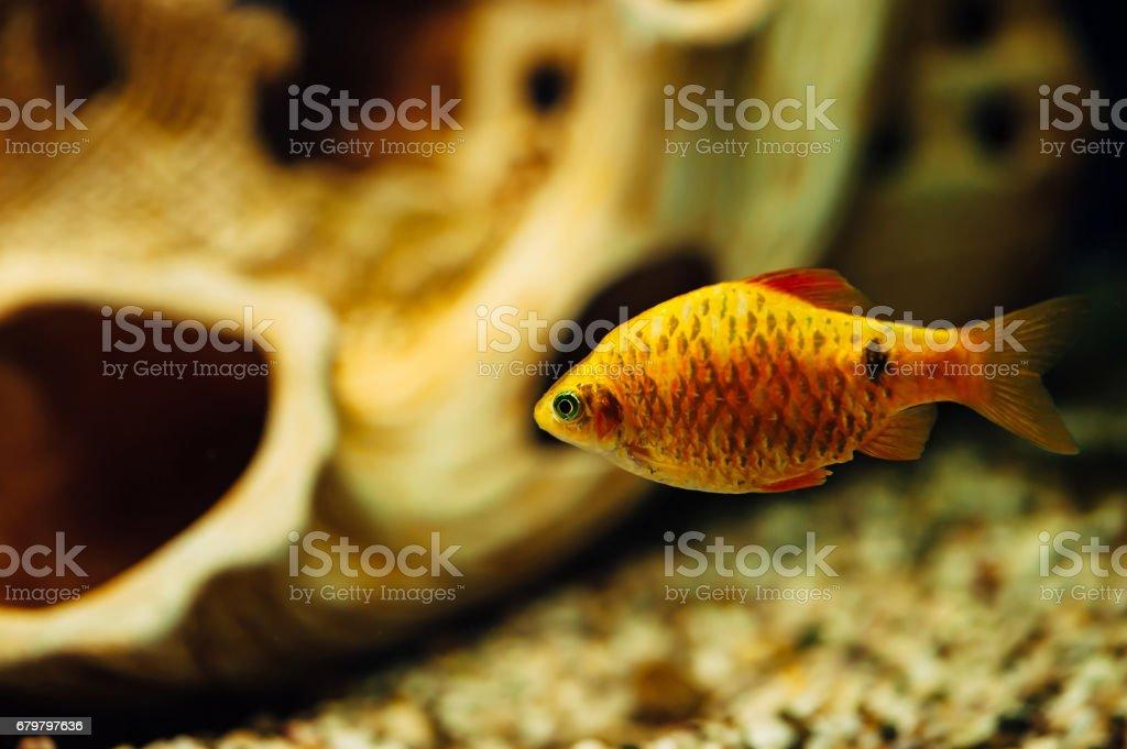 Barbus. stock photo