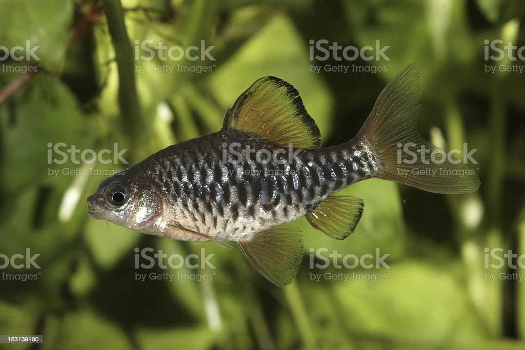 Barbus. Puntius oligolepis. royalty-free stock photo