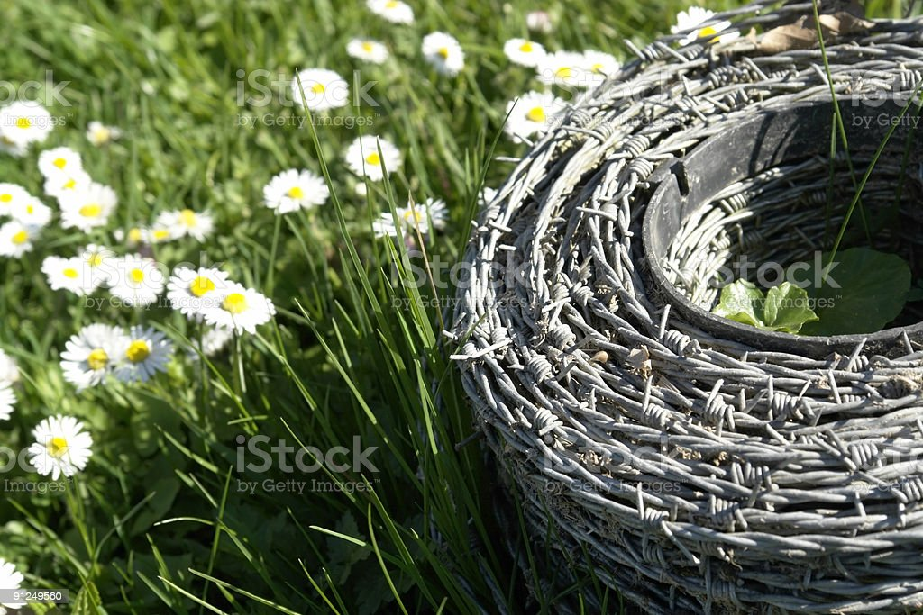 barbwire and daisy flowers royalty-free stock photo