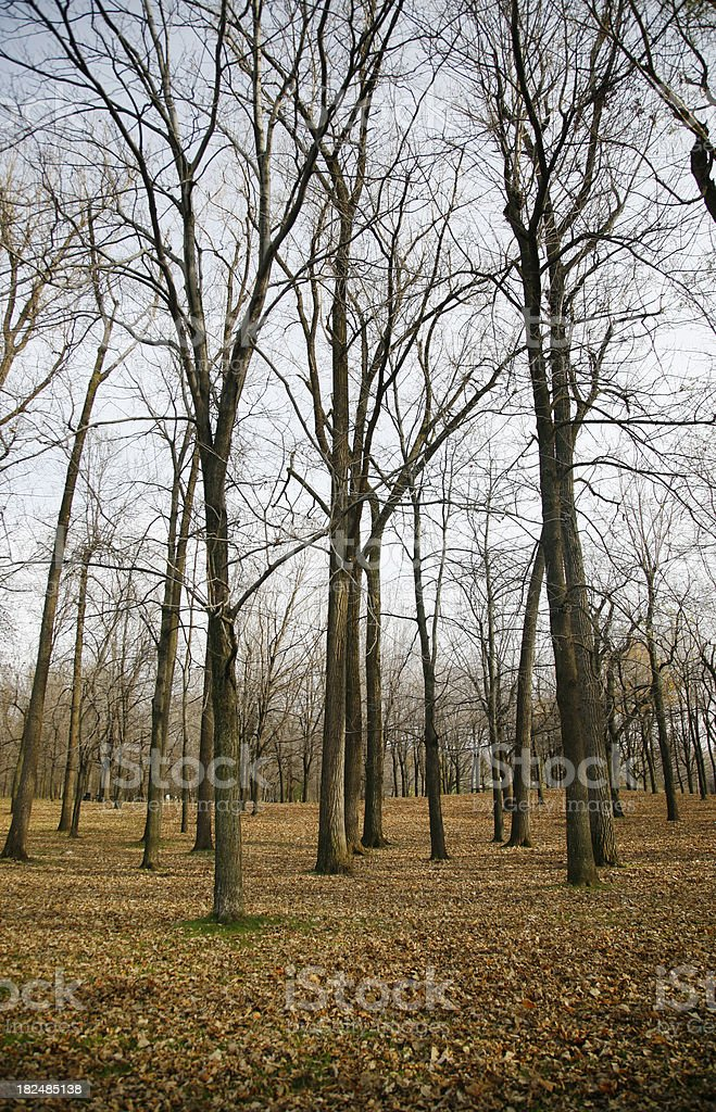 Bare Branched Trees in Fall royalty-free stock photo