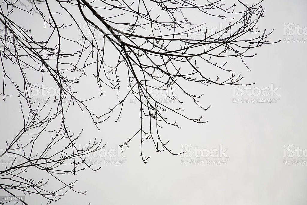 Bare Branches against Snow Clouds in Winter royalty-free stock photo