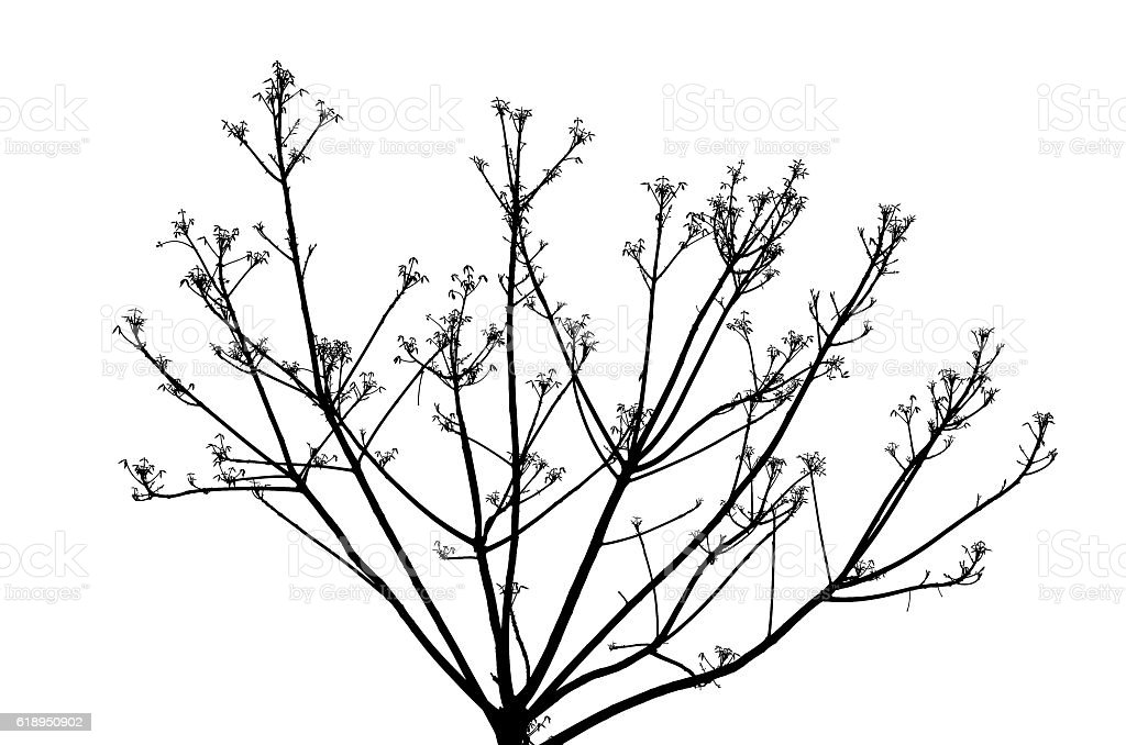 bare branches on a white background. stock photo