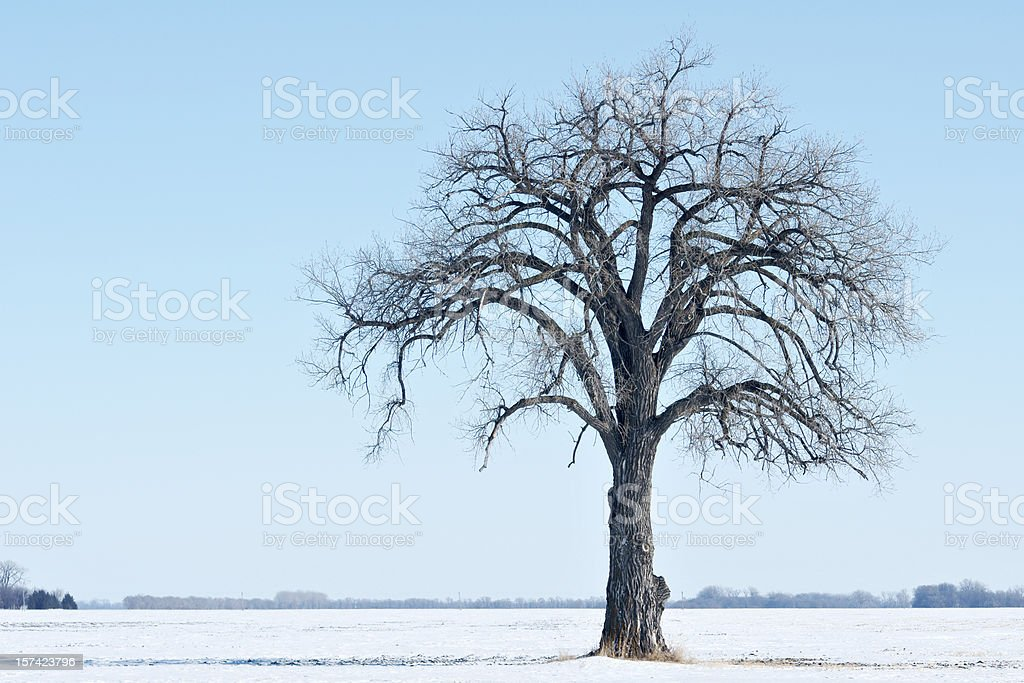 bare cottonwood tree in field winter royalty-free stock photo