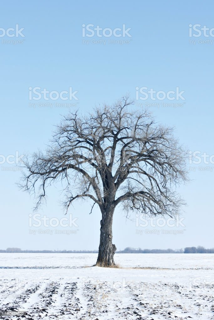 bare cottonwood tree royalty-free stock photo