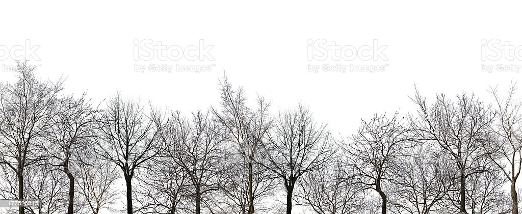 bare forest isolated on white stock photo