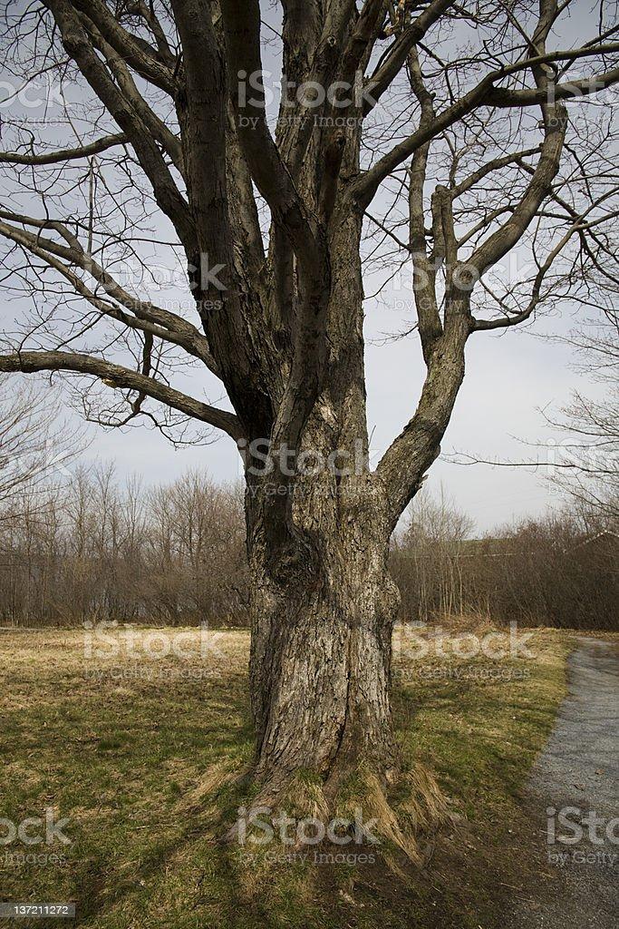Bare oak tree royalty-free stock photo