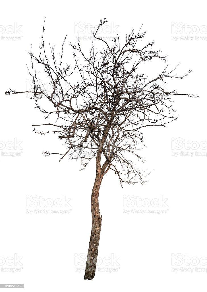 bare small isolated apple tree royalty-free stock photo