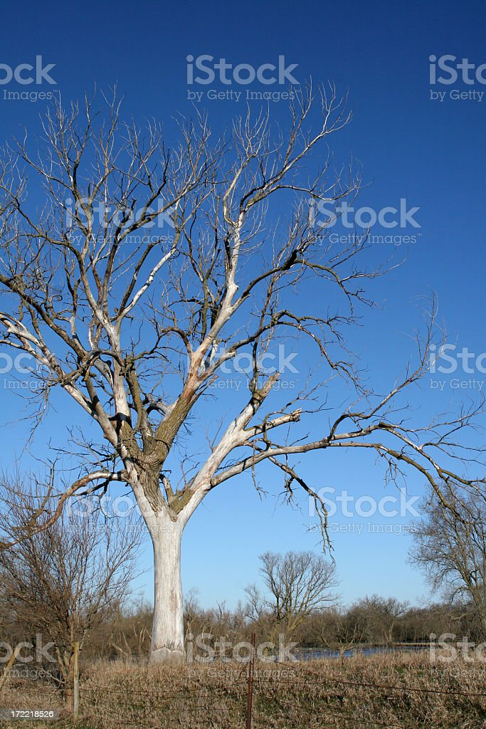 Bare Tree Against Blue Sky royalty-free stock photo