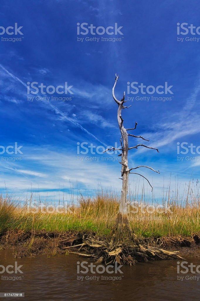 Bare Tree at Wetland in South Carolina stock photo