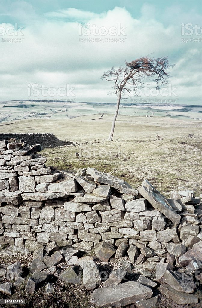 Bare tree bent by wind, behind a collapsed wall stock photo