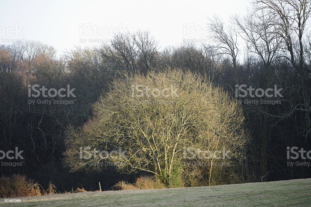 Bare tree, catching winter sun, by edge of wood stock photo