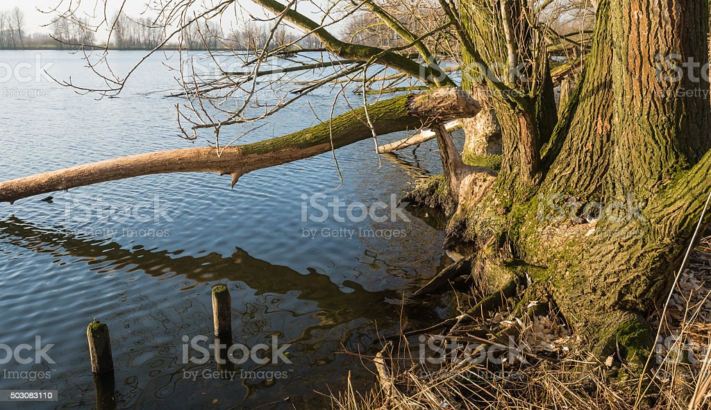 Bare tree felled by the wild beavers stock photo