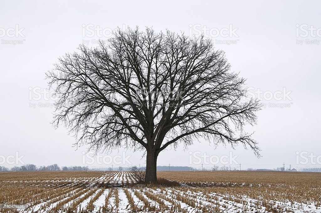 Bare Tree in Middle of the Field royalty-free stock photo