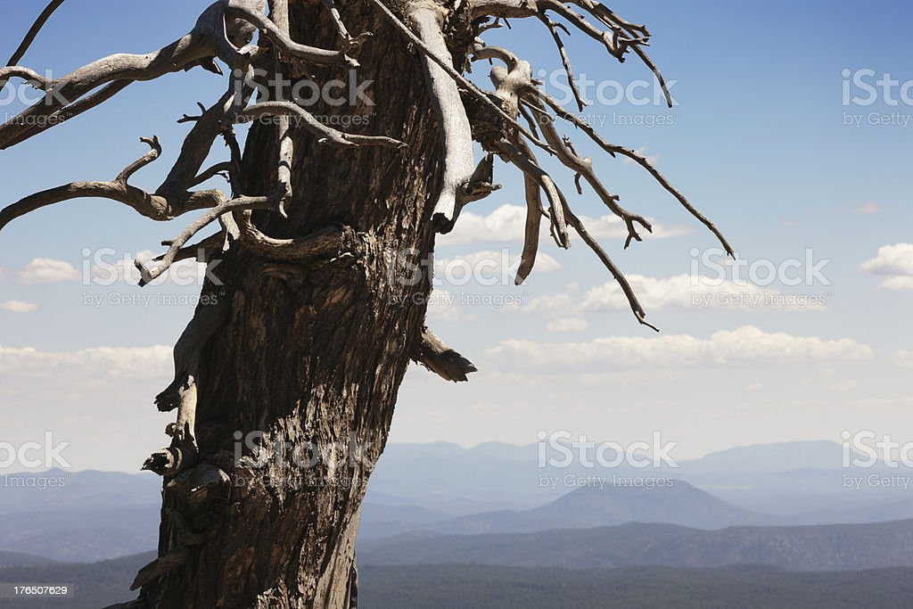 Bare Tree Landscape Coconino Forest stock photo