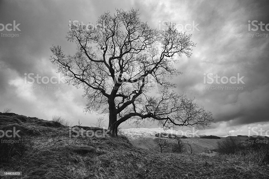 Bare tree on mountainside royalty-free stock photo