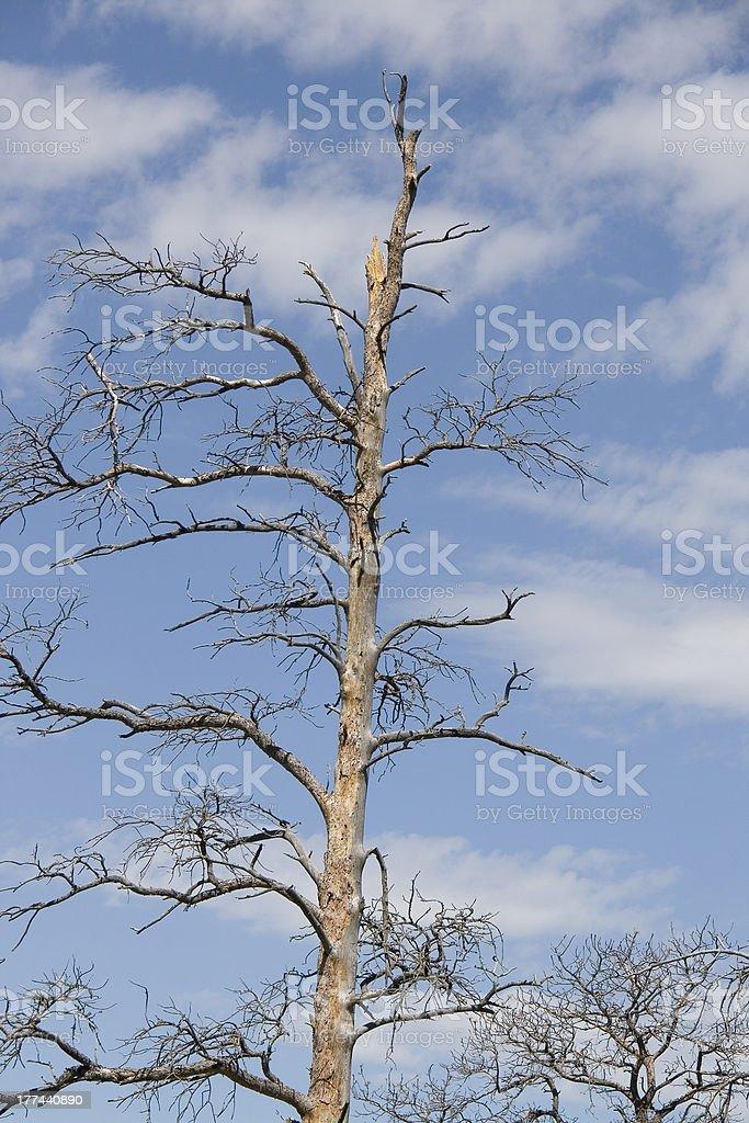 Bare Tree royalty-free stock photo