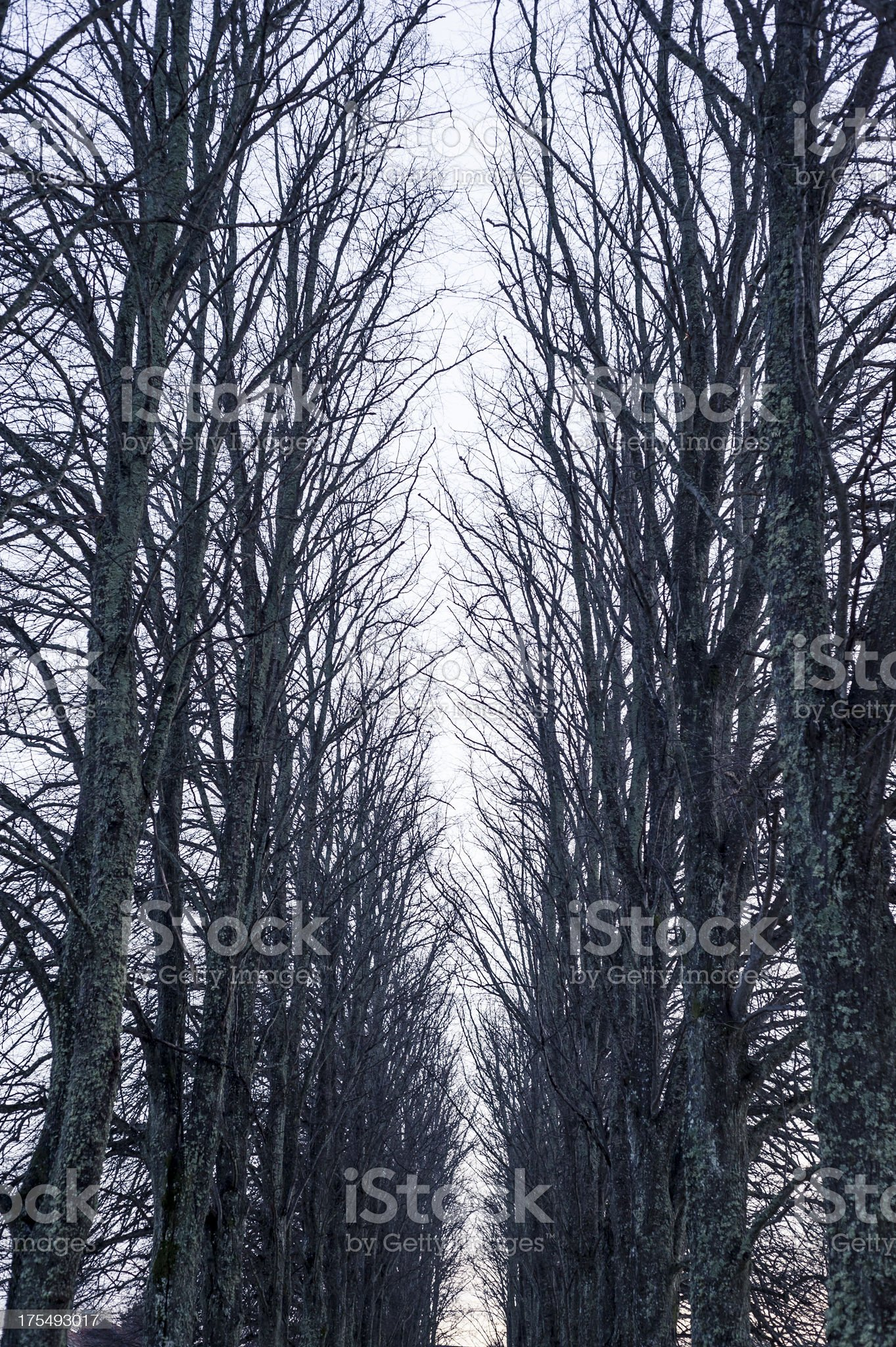 Bare Trees During Winter In Sweden royalty-free stock photo