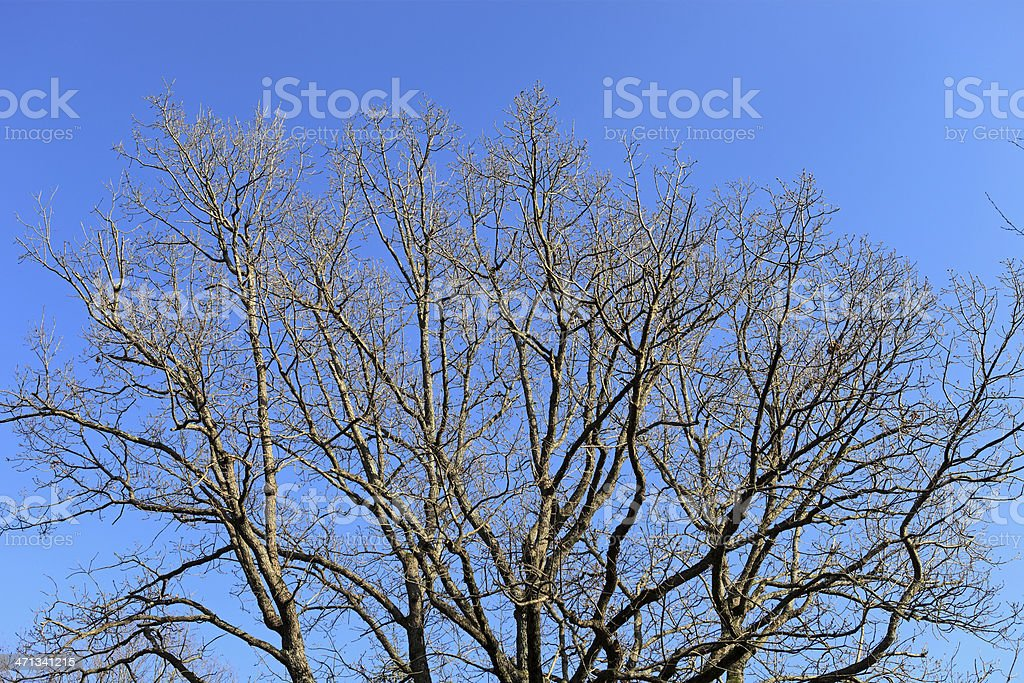 Bare trees from below royalty-free stock photo