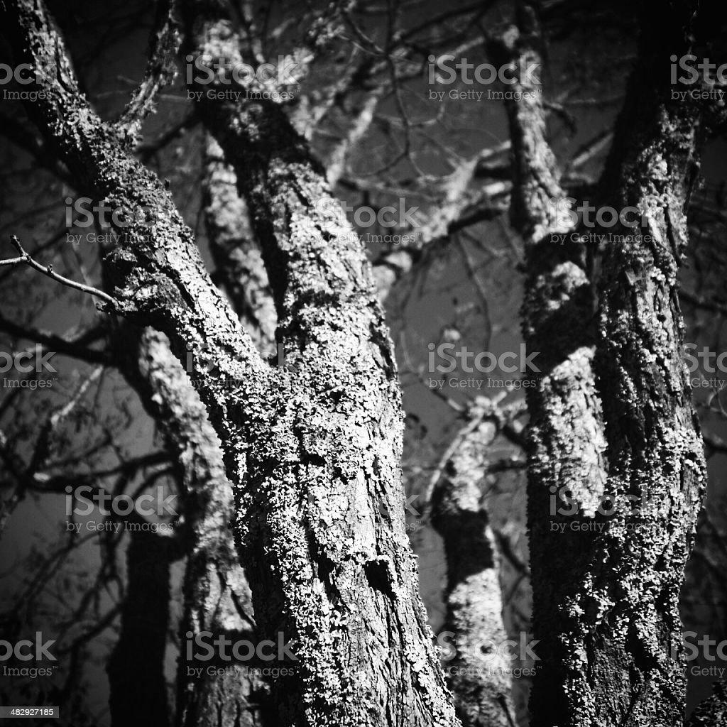 Bare Trees in Black & White stock photo