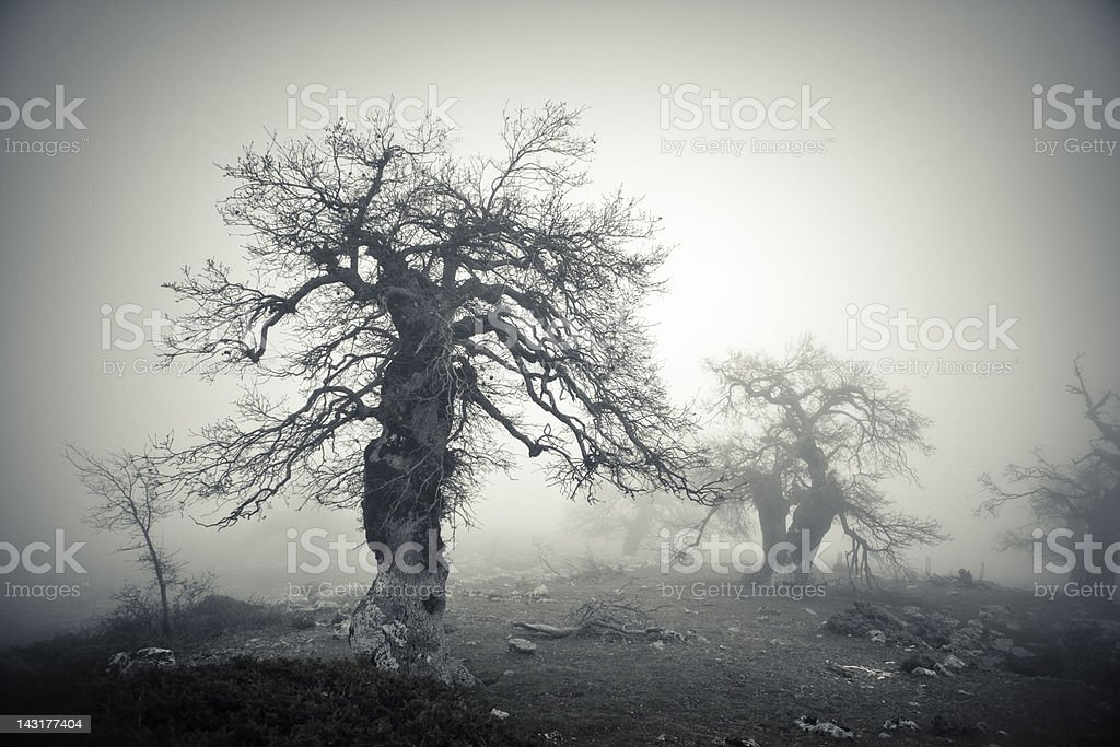 Bare Trees in Fog royalty-free stock photo