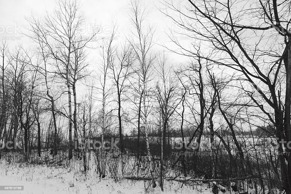 Bare Trees in Winter stock photo