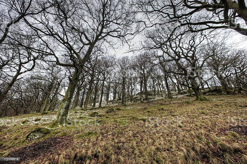 Bare trees on English winter hillside royalty-free stock photo