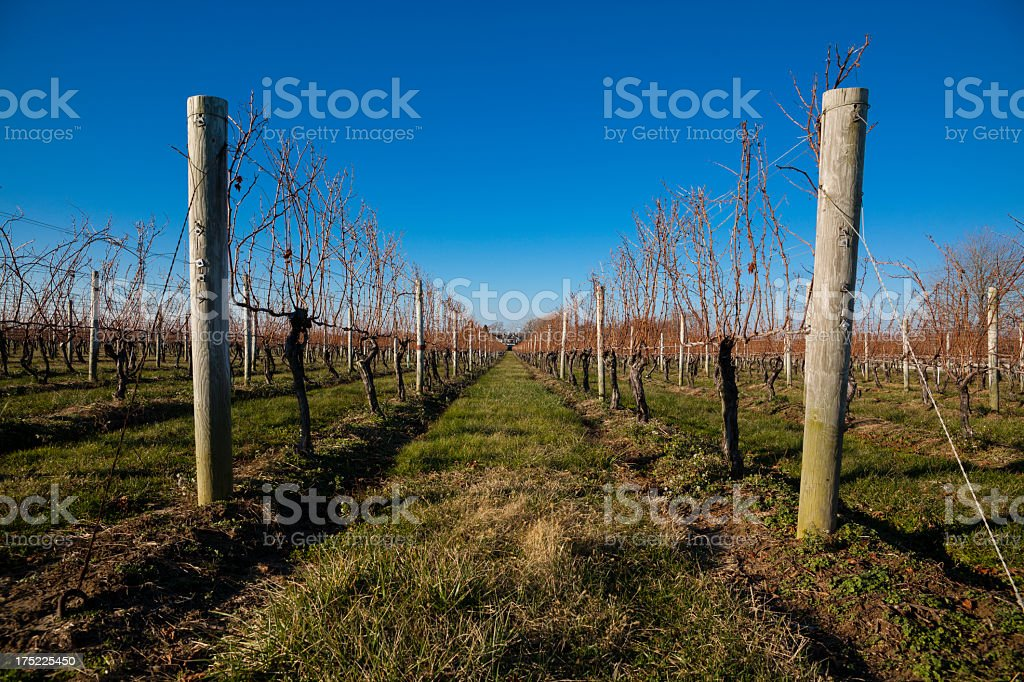 A bare winery vineyard during winter royalty-free stock photo