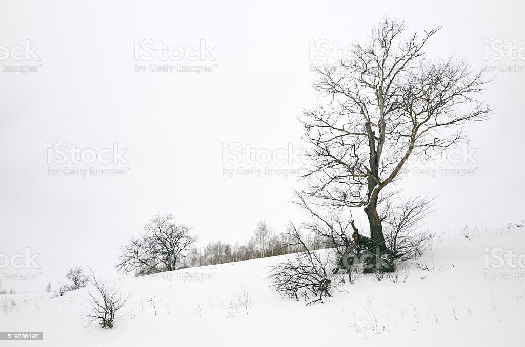 Bare winter tree  in field stock photo