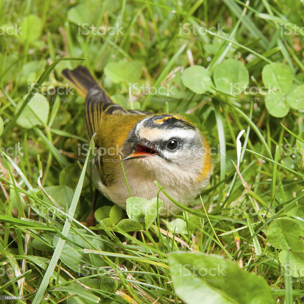 Barely-fledged Firecrest Baby Bird calling its Mother stock photo