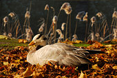 Bar-headed Goose is laying on curled leafs.