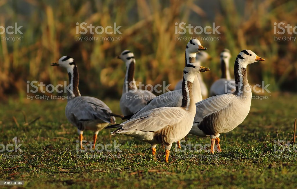 Bar-headed Goose (Anser indicus) stock photo